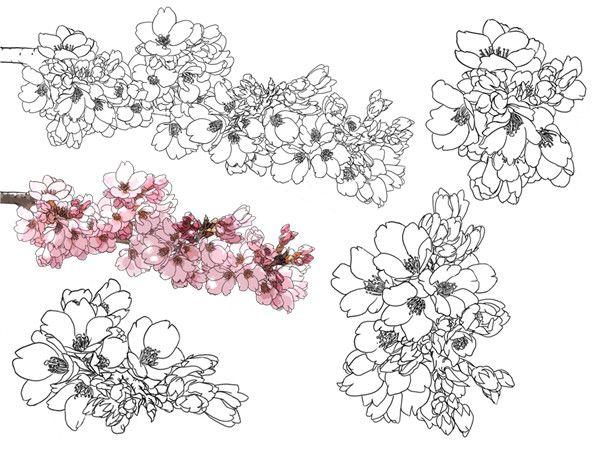 彩铅樱花树手绘图片